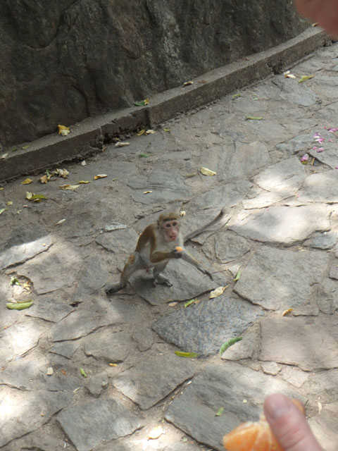 Hungry Apes of Dambulla